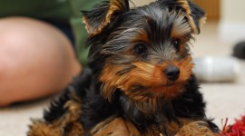 Yorkshire Terrier Desktop Wallpaper HD