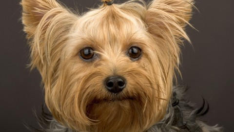 Yorkshire Terrier wallpapers high quality