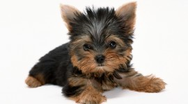 Yorkshire Terrier Photo Free
