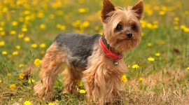 Yorkshire Terrier Photo#1