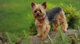 Yorkshire Terrier Photo#2