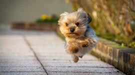 Yorkshire Terrier Wallpaper Download