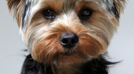 Yorkshire Terrier Wallpaper For Android