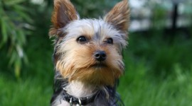 Yorkshire Terrier Wallpaper For Desktop