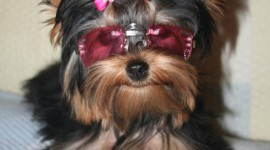 Yorkshire Terrier Wallpaper For IPhone