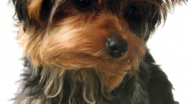 Yorkshire Terrier Wallpaper For Mobile