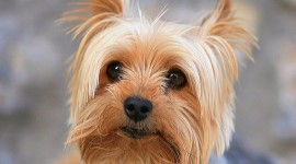Yorkshire Terrier Wallpaper Free