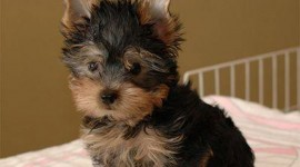 Yorkshire Terrier Wallpaper HQ