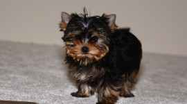 Yorkshire Terrier Wallpaper HQ#2