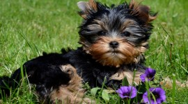 Yorkshire Terrier Wallpaper HQ#3