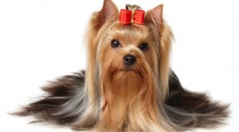 Yorkshire Terrier Wallpaper#2