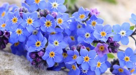4K Forget Me Nots Photo
