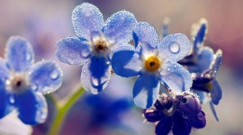 4K Forget Me Nots Photo Free