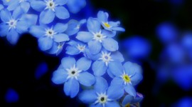 4K Forget Me Nots Photo#2