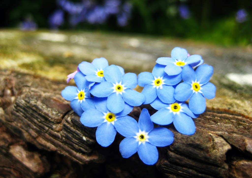 4K Forget Me Nots wallpapers HD