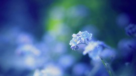 4K Forget Me Nots Wallpaper 1080p