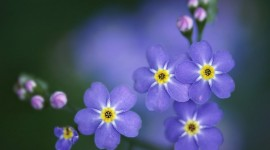 4K Forget Me Nots Wallpaper Free