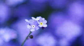 4K Forget Me Nots Wallpaper Full HD
