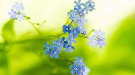 4K Forget Me Nots Wallpaper Gallery