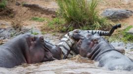 4K Hippopotamus Best Wallpaper