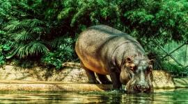 4K Hippopotamus Desktop Wallpaper