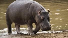 4K Hippopotamus Desktop Wallpaper For PC