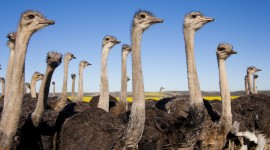 4K Ostriches Wallpaper Free