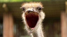 4K Ostriches Wallpaper Gallery