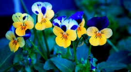 4K Pansy Wallpaper Download