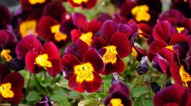4K Pansy Wallpaper Download Free