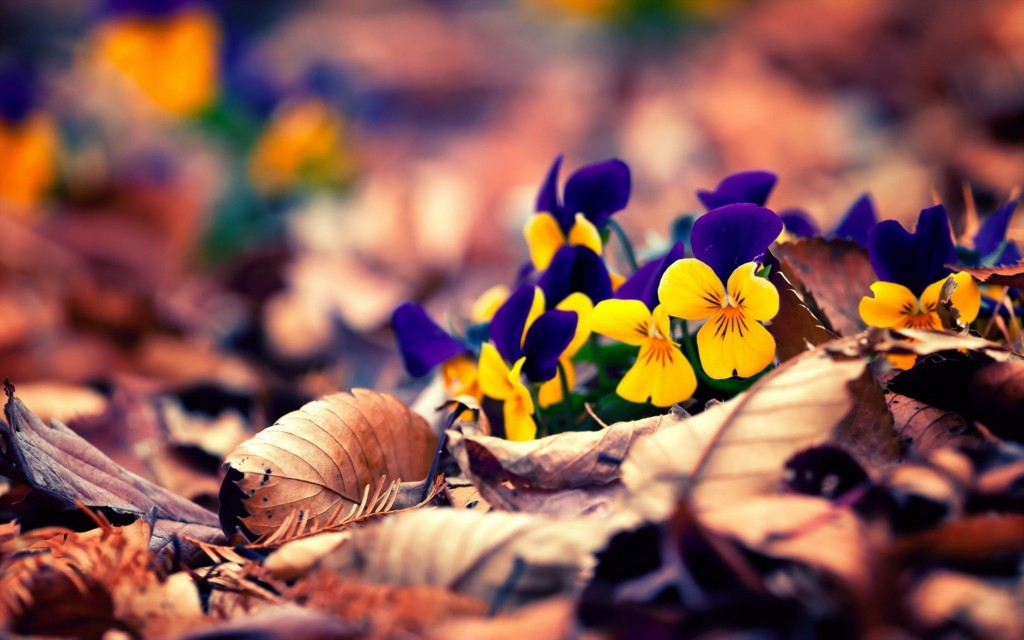 4K Pansy wallpapers HD