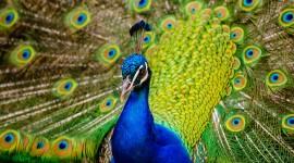 4K Peacock Photo