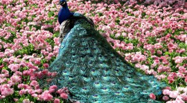 4K Peacock Photo Download4K Peacock Photo Download