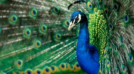 4K Peacock Wallpaper Download Free