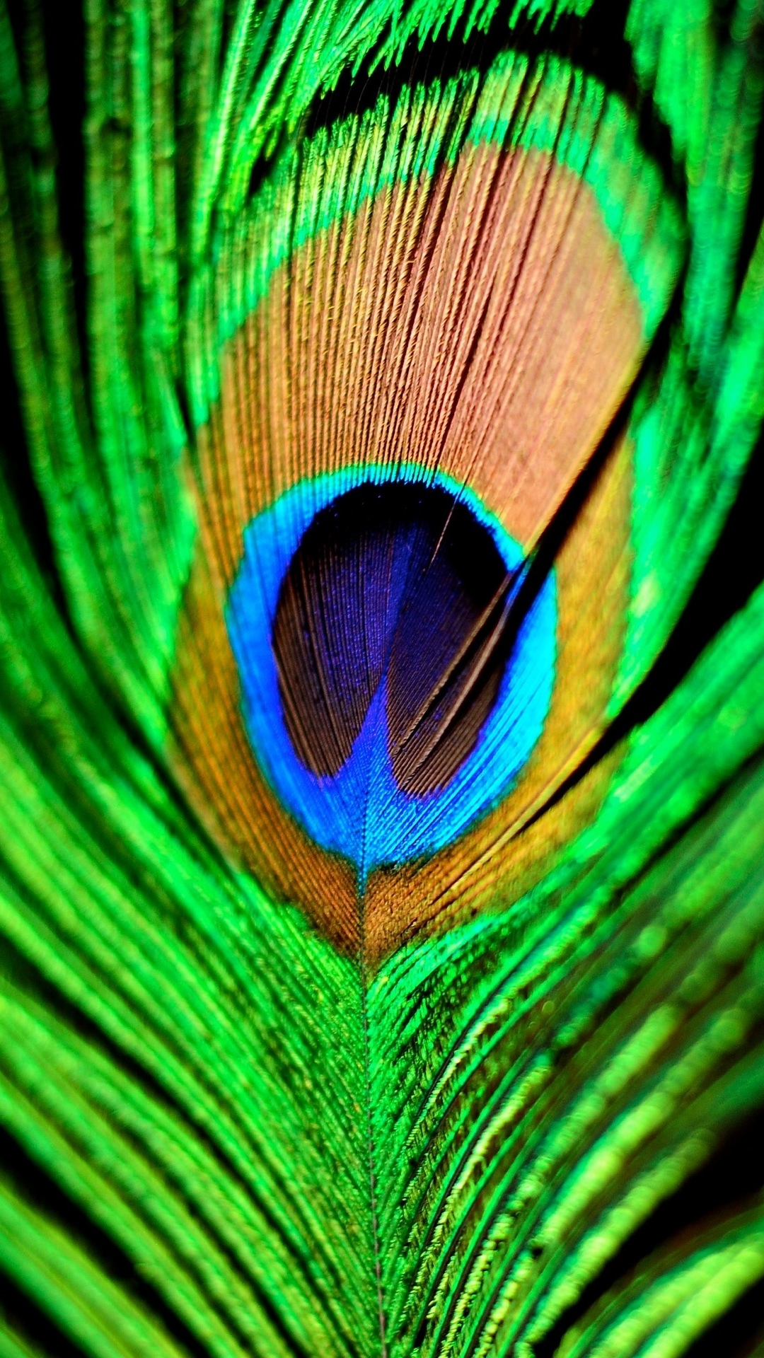 4k Peacock Wallpapers High Quality Download Free