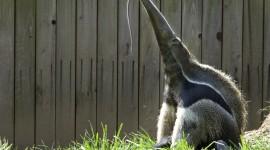 Anteater Photo