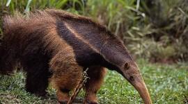 Anteater Photo#2