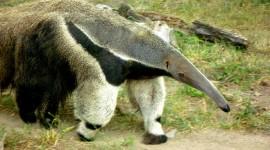 Anteater Wallpaper Download