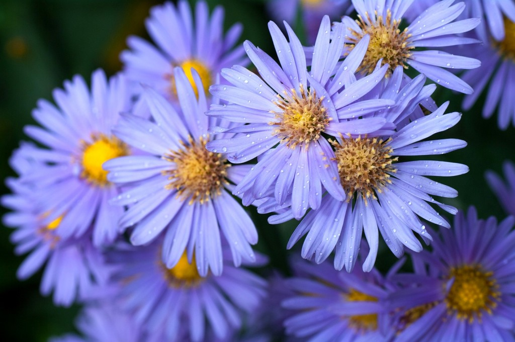 Asters wallpapers HD