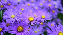 Asters Desktop Wallpaper
