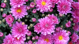 Asters Desktop Wallpaper For PC