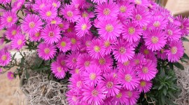 Asters Photo