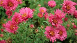Asters Photo Download