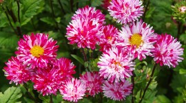 Asters Photo Free