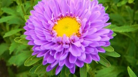 Asters Wallpaper