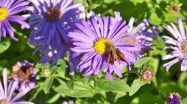 Asters Wallpaper Download