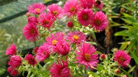 Asters Wallpaper Download Free