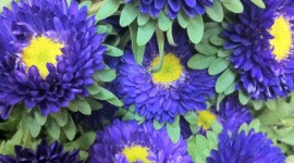 Asters Wallpaper For Android