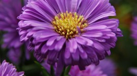 Asters Wallpaper For IPhone