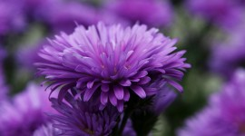 Asters Wallpaper For IPhone Free